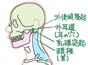 後ろ頭の構造1