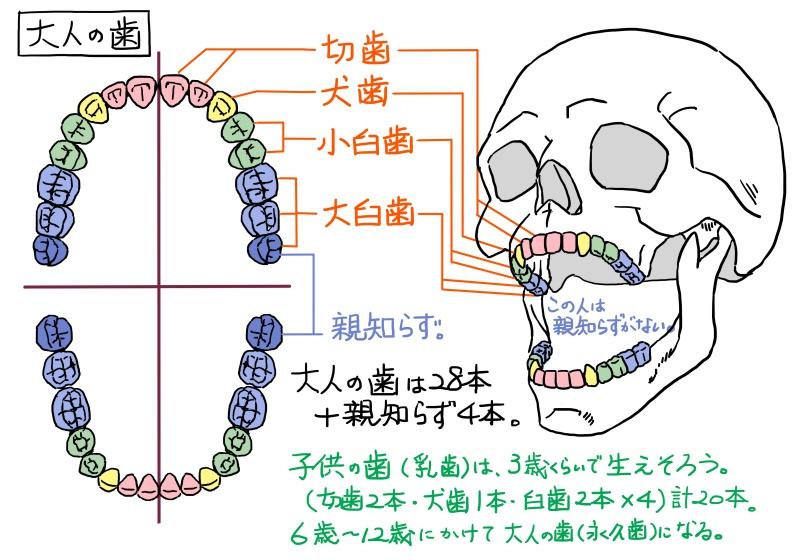 歯の形状と数