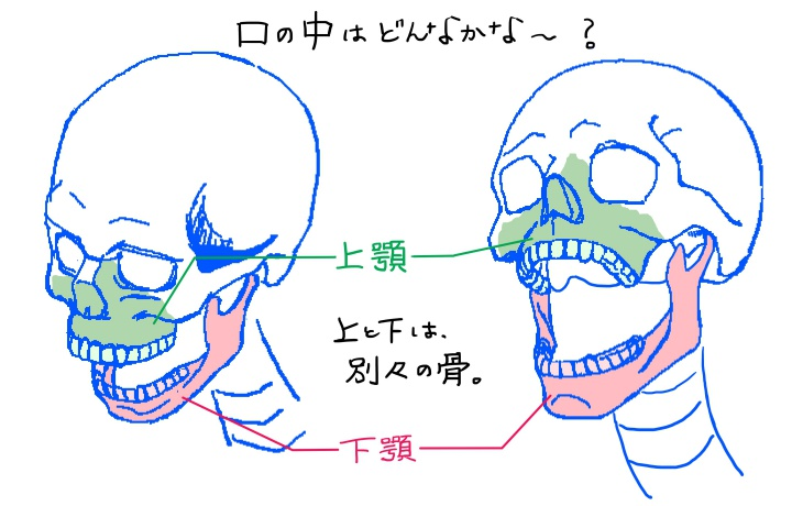 上顎と下顎