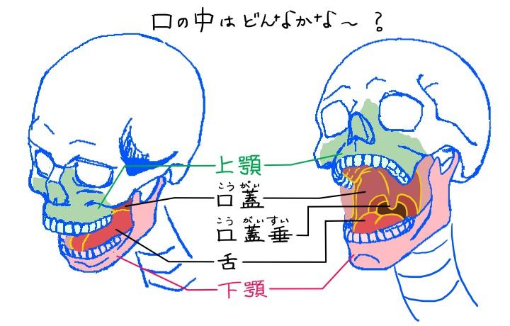 口の中の構造