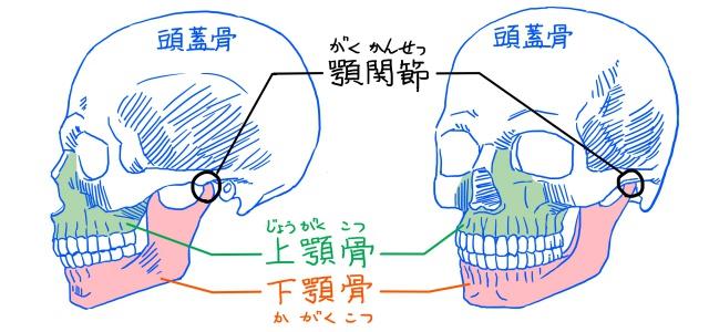 頭蓋骨と下顎骨